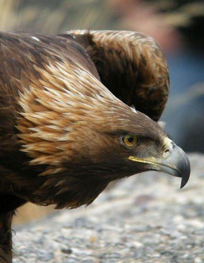 portrait-animal-aigle-photo-sophie-moedbeck
